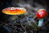 Fatal beauty (PixPep) Tags: beautiful beauty colours beautifullight amanitamuscaria fatal beautifulnature beautifulbokeh eos1dsmarkiii pixpep