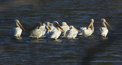 IMG_9864 (justpics2007) Tags: pelicans birds gulls waterfowl arkansasriver