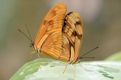 Julia Dryas (Rene Mensen) Tags: two orange macro butterfly julia pair mariposa emmen noorderdierenpark dryas