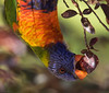 Feeding on the flowering plum (Ralph Green) Tags: bird birds lorikeet australia melbourne victoria rainbowlorikeet floweringplum trichoglossushaematodus