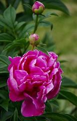 Pink peony (Niki Gunn) Tags: flowers flower macro pentax may peony tamron 90mm k5 tamron90mm 2016 tamron90mmf28 tamron90mmmacro tamronspaf90mmf28