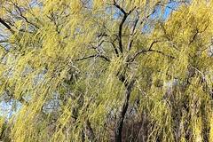 Grandiose (francepar95) Tags: plant tree spring foliage weepingwillow printemps grandiose saulepleureur verttendre