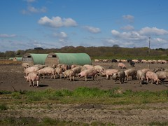 P4300001 (macg33zr) Tags: suffolk pigs covehithe