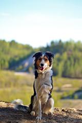 DSC_1676T (juliannahiaasen) Tags: portrait dog pet dogs animal training photography bordercollie australianshepherd dogphotography dogtraining dogportrait dogphotographer
