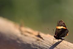 Repouso (Jonathan Carias e Sil Manu) Tags: brazil bird brasil butterfly natural natureza fotografia pssaros mata borboletas vegetao amaznia brasi