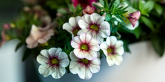 _DSC4480.jpg (tomac_foto) Tags: natur pflanze pflanzen blume blte blten tiefenschrfe bllumen