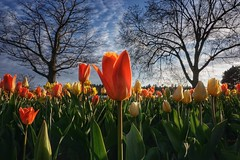 Time to focus. On tulips. (beyondhue) Tags: blue sunset sky orange lake ontario canada flower tree yellow festival spring bed ottawa tulip bloom dows tulipfest beyondhue