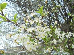 915 (en-ri) Tags: sony blossoms ciliegio fiorellini boccioli sonysti