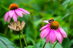 A bee on a narrow-leaved purple coneflower (ManuelHurtado) Tags: wien pink plant flower macro green nature animal garden insect botanical outdoors austria petals purple natural blossom echinacea small places bee countries health coneflower biology healthcare herb herbal remedy pollination immune at