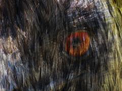 The Emu Abstract (Steve Taylor (Photography)) Tags: orange brown bird eye yellow digital feathers emu