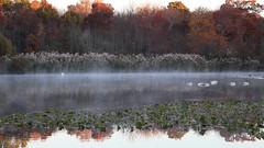 Slumber in the Mist (Bob90901) Tags: morning autumn mist newyork canon landscape october outdoor slumber ducks longisland swans 6d 2015 canonef24105mmf4lisusm massapequapreserve rpg90901