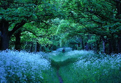 Summer Pathway (Cal Killikelly) Tags: wood uk flowers wild summer england people dog white tree green beautiful forest walking cow cheshire path romance cal eden parsley magical ramblers wirral carolekillikelly
