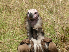 African Bird - Vulture ! (Mara 1) Tags: africa bird face neck outdoors kenya wildlife feathers mara vulture masai