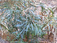 Macrozamia fawcettii 1 (barryaceae) Tags: new gardens wales botanical coast harbour south north australia regional coffs the