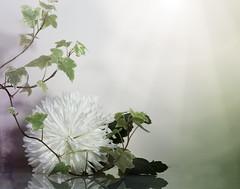 Fallen flower (Elisafox22 busy this week!!) Tags: stilllife white macro texture leaves photoshop sony ivy chrysanthemum textured macrolens simplepleasures 100mmf28 telemacro elisafox22 ilca77m2 elisaliddell2016