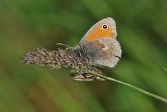 Falter (Hugo von Schreck) Tags: macro butterfly insect makro insekt schmetterling maniolajurtina groseochsenauge tamron28300mmf3563divcpzda010 canoneos5dsr hugovonschreck