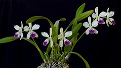 "Epicattleya ""El hatillo"" (R. Tomingas) Tags: orchid orchideja epicattleya cattleya"