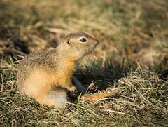 Alberta Goapher! (Ian H. Neilson) Tags: stilts avocet terns richardsonsgroundsquirrel