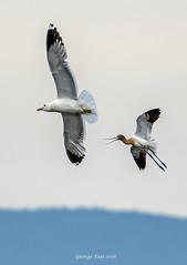 Leave me alone! (GeorgeTsai 168) Tags: sea gull american shore bif avocet