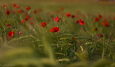 Ormai  tardi! ((Raffaella@)) Tags: evening may natura poppy maggio sera papaveri spighe fioritura