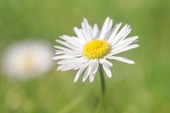 (clara.tardis) Tags: lumix olympus daisy g6 45mm