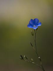Chut ... **---+°-°° (Titole) Tags: flower blue shallowdof titole nicolefaton flax lin thechallengefactory explored friendlychallenges challengeyouwinner