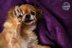 5*12 months of Baboosh - Lazy high-five (sgv cats and dogs) Tags: chihuahua cute senior highfive baboosh 12monthsfordogs16