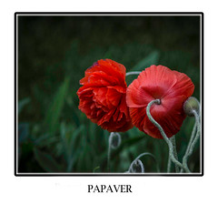 My Poppies are blooming!! (bonnie5378) Tags: flowers ngc poppy cloth inmygarden magicunicornverybest naturescarousel may2016
