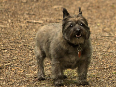 Sedum - 5/24/16 (myvreni) Tags: pets dogs nature animals spring vermont cairnterriers