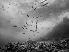 2016 05 27_G1X_Studentresa_0045_edited-1 (Thomas_SJ) Tags: life white fish black swim marine underwater picture diving scubadiving mallorca underwaterphotography