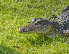 Cajun Swamp Tour Gator 1 (awsheffield) Tags: louisiana swamp cajun alligators waterreflections