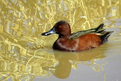 Rusty gold - Cinnamon teal (Anas cyanoptera), Whitewater Draw Wildlife Area, Tucson, Feb 2015 (Judith B. Gandy) Tags: arizona birds tucson ducks aves anas waterbirds teals cinnamonteal anascyanoptera whitewaterdrawwildlifearea