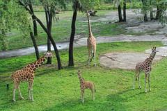 Animal Kingdom Lodge Giraffe Family (Timfy Mills) Tags: family animal animals kingdom lodge giraffe akl disneys nikon28300mm nikonv1