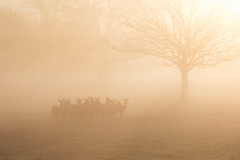 The Spring Fallow Huddle (Chaitanya Deshpande | Photography) Tags: morning light mist tree dawn wildlife deer fallowdeer fallow