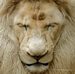 White Lion (My Planet Experience) Tags: wild portrait white animal mammal african wildlife lion conservation species endangered biodiversity timbavati pantheraleokrugeri wwwmyplanetexperiencecom myplanetexperience