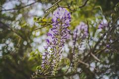 Blue rain madness (sara.wendelmelhuish) Tags: blue green floral spring dof bokeh botanic wisteria eltham bluerain se9