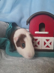 Scatter - hot on the trail of the missing hay (grannyju1) Tags: pets guineapig may scatter 2016