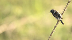 White-throated Bush Chat (Rez Mole) Tags: bush chat whitethroated saxicolainsignis