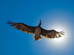 pelicano 100 (raulmunozh2001) Tags: alcatraz pelicano