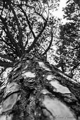 ai piedi di sua maest (Roberto Fiscella) Tags: blackandwhite bw alberi nikon natura albero biancoenero