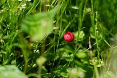 (Yorozuna / ) Tags: red plant fruit berry kyoto   sakyoku      kyotocity takaragaike falsestrawberry    indianstrawberry    mockstrawberry duchesneachrysantha       sakyoward takaragaikepark  potentillahebiichigo pentaxautotakumar55mmf18 kokusaikaikanstation