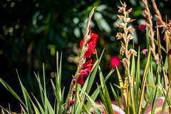 Gladiolus (randyherring) Tags: california ca morning plant flower nature closeup us flora unitedstates bokeh outdoor sanjose depthoffield bloom gladiolus blooming