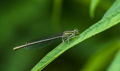 White Legged Damselfly (f) (grahamnichols47) Tags: pentax k3 whiteleggeddamselfly da300mmf4 deneparkwoods