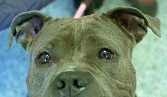 Frida_02 (AbbyB.) Tags: dog pet animal newjersey canine pitbull doggy shelter shelterpet petphotography easthanovernj mtpleasantanimalshelter