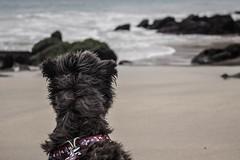 (troubleofchaos) Tags: chile winter dog beach g schnauzer playa perro filter minischnauzer puntadetralca
