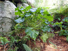 Stilbocarpa lyallii at Summit Rock (dracophylla) Tags: newzealand araliaceae codfishisland stilbocarpalyallii whenauhoa