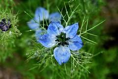 ~~Perles d'eau~~ (Jolisa) Tags: flowers macro nature fleurs eau pluie bleu gouttelettes nigellesdedamas juin2016