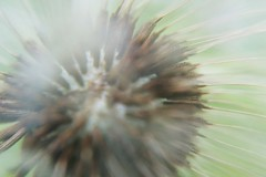 The Essence Of Summer Flower Bloom Blooming Nature Abstract Dandelion Dandelion Seeds Dandelion Abstract Fluff Closeup Detail Peaceful Wishing Flower Tranquility Meditative Soft (Shannon F Gorman) Tags: abstract flower detail nature closeup soft peaceful tranquility fluff dandelion bloom blooming meditative dandelionseeds wishingflower theessenceofsummer dandelionabstract