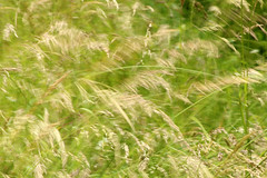 Like Grass In The Wind (gripspix (OFF)) Tags: 20160630 natur nature grass gras stalks halme wind windy windig