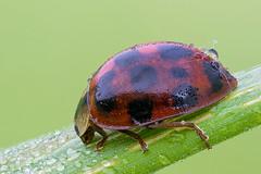 Harlequin ladybird (Cristian Arghius) Tags: macro insect beetle naturallight focusstack harmoniaaxyridis sonya7 zerenestacker rrstp243tripod schneiderkreuznachapocompononhm604 arcaswisscubetripodhead novoflexbalpro1bellows